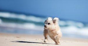 malta teriyeri sahilde koşuyor