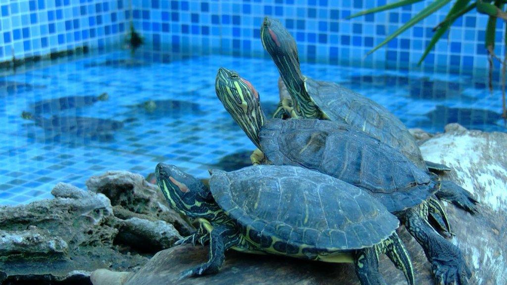 İzmir Karşıyaka'da iş yeri önündeki süs havuzunda yaşayan su kaplumbağalarına çevrenin ilgisi büyük.