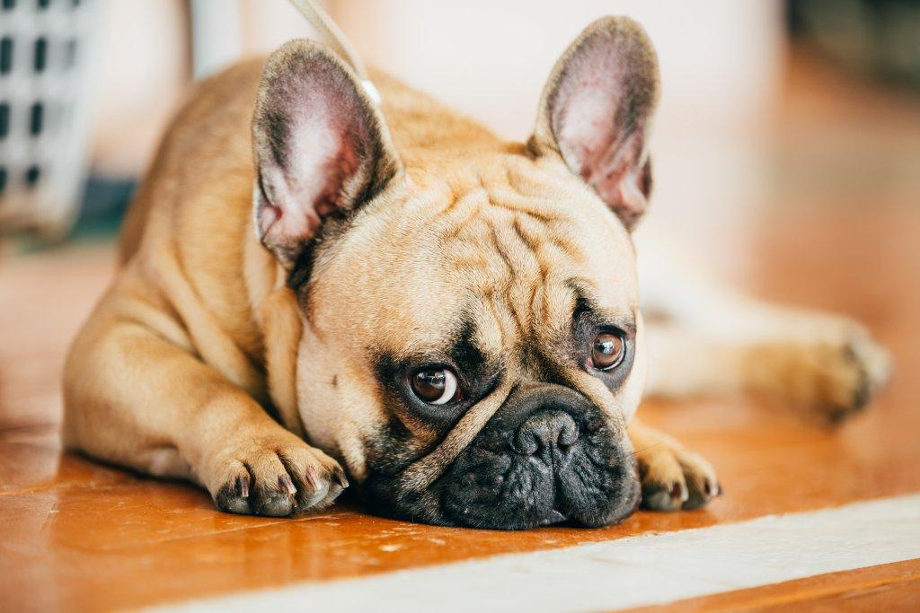 masum fransız bulldog çok sevimli