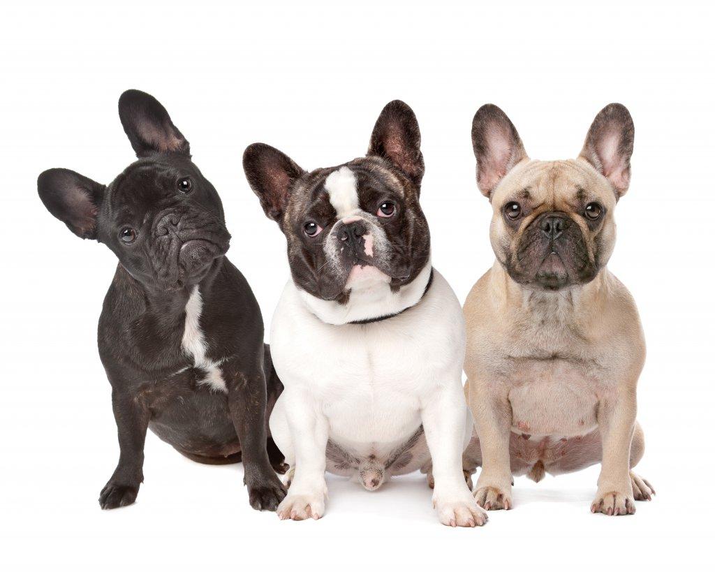 farklı renklerde 3 french bulldog beyaz arkaplan