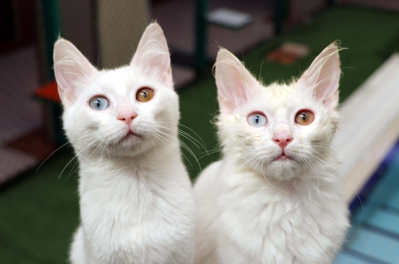 YYÜ kampüsündeki Kedi Evi'nde Van kedileri
