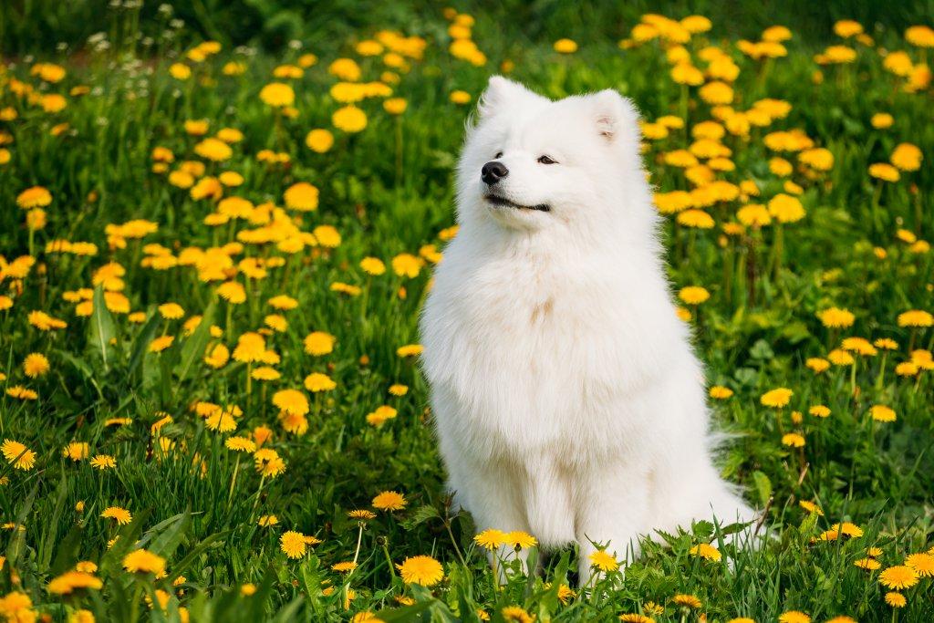 sarı çiçeklerle kaplı çimlerde oturan samoyed