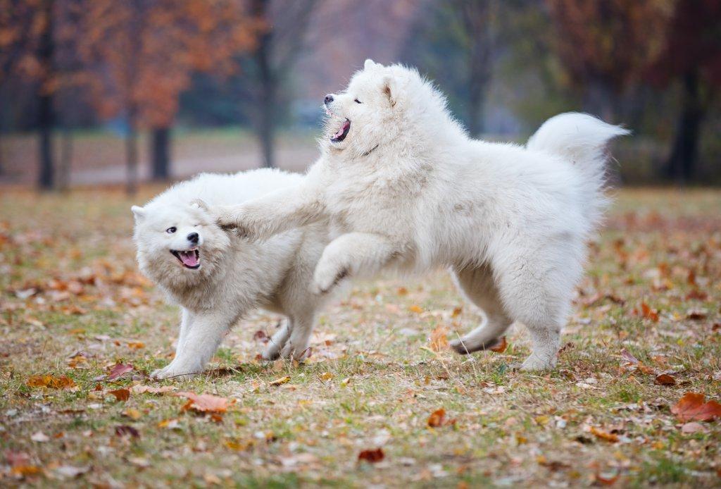 sonbaharda dışarda oynayan iki samoyed cinsi köpek