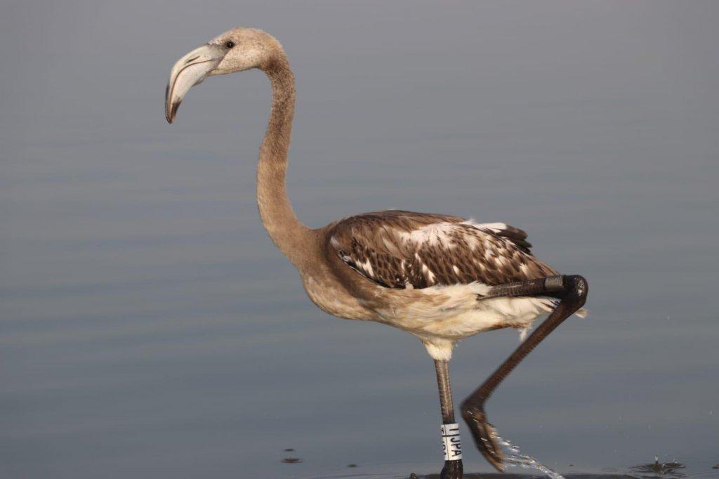 halkalanmış bir flamingo suda yürüyor
