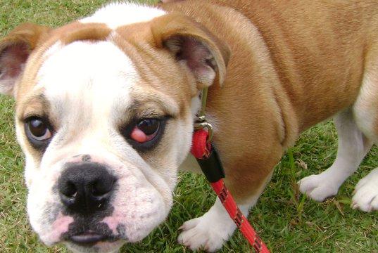 kiraz göz hastalığına yakalanmış bir köpek