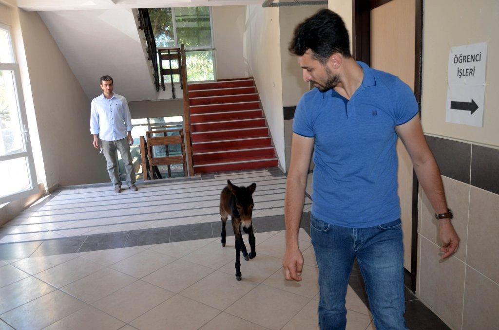 İstanbul Üniversitesi'nde bir sıpa