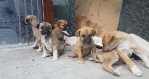 anneleri zehirlenen sokak köpeğinin geride kalan yavrularının resmi