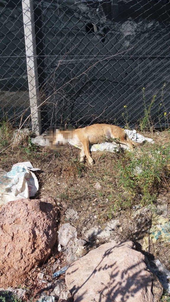 Zehirli et ile katliam ölen sokak köpeklerinden biri