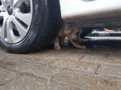 Arabanın altına sıkışan köpek
