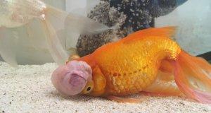 kafasında tümör olan japon balığı ameliyattan önce