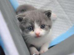 Çin'in ilk klon kedisi