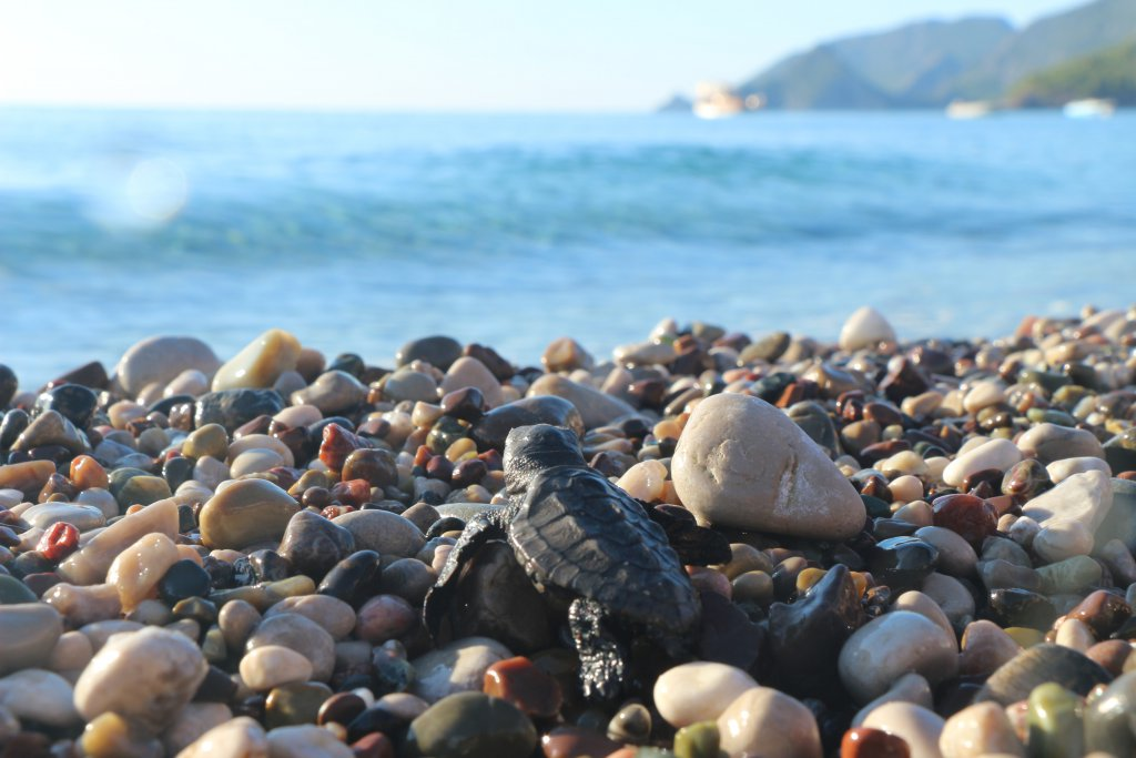 Denize doğru zorlu yolculuğunda taşların üzerinde bir caretta caretta yavrusu