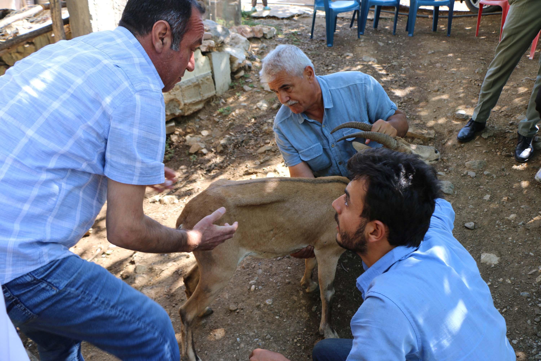 Dağ keçisinin tedavi ve bakımı yapılıyor