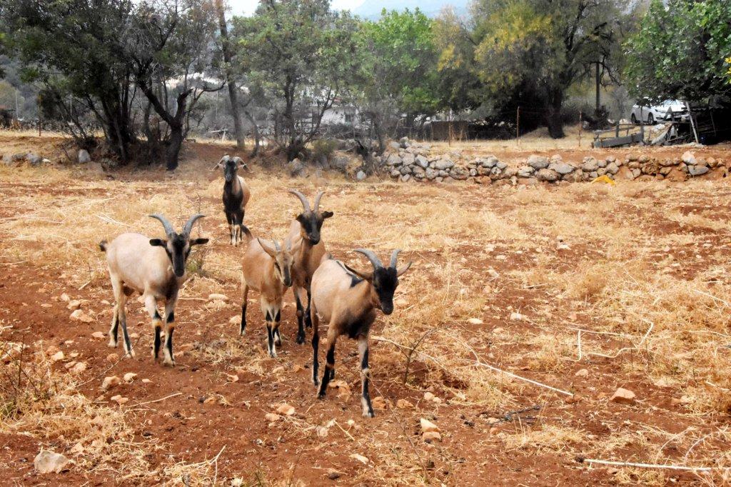 keçilerin fotoğrafı
