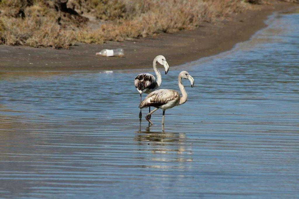 iki flamingo yanyana suda yürüyor