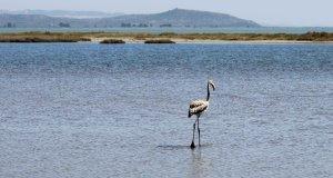 yalnız suda yürüyen flamingo