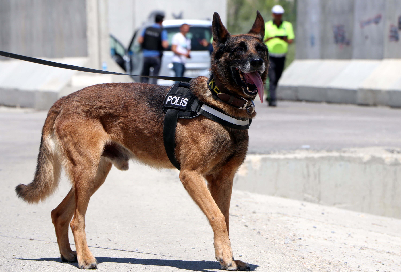 belçika malinoise cinsi narkotik köpeği kara