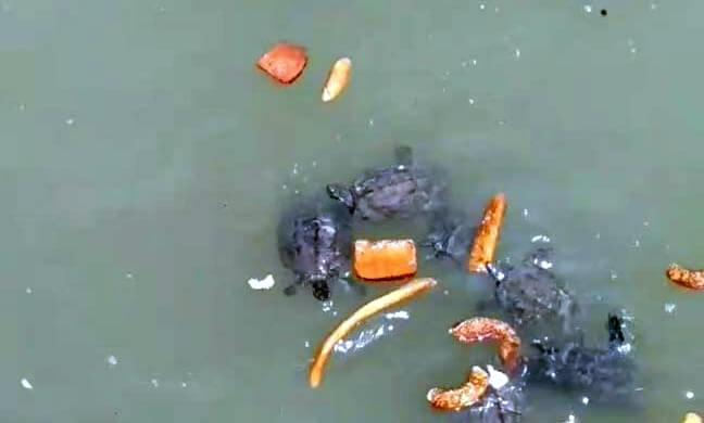 Ekmek ve simit yiyerek hayatta kalmaya çalışan kaplumbağaların resmi