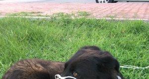 bağlandığı yerden kurtarılan köpek hızlıca olay yerinden uzaklaştı