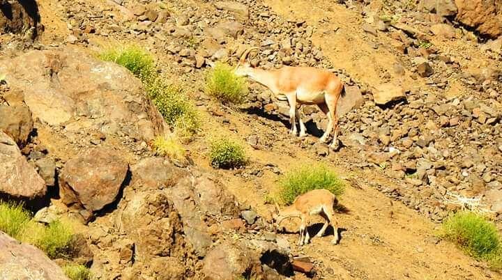 Dağ keçiler sırp kayalıkta