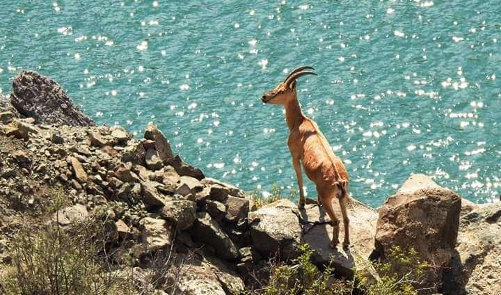 Çengel boynuzlu dağ keçisi su kenarında