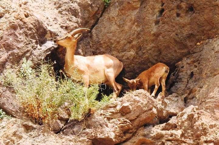 Çengel boynuzlu dağ keçisi ve yavrusu besleniyor