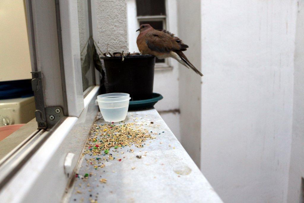 cama yuva yapmış kumru, güvercin