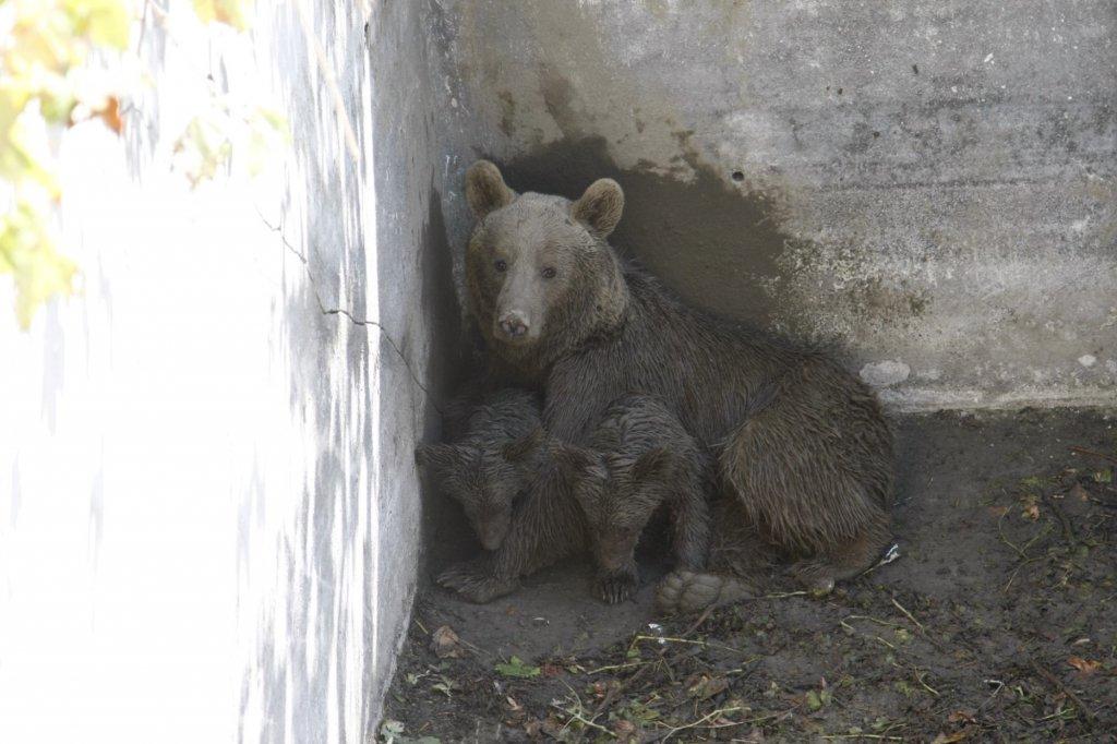 sulama havuzunda mahsur kalan anne ayı ve iki yavrusunun resmi