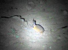 Arap tavşanı bir süre görüntülendikten sonra ortadan kayboldu