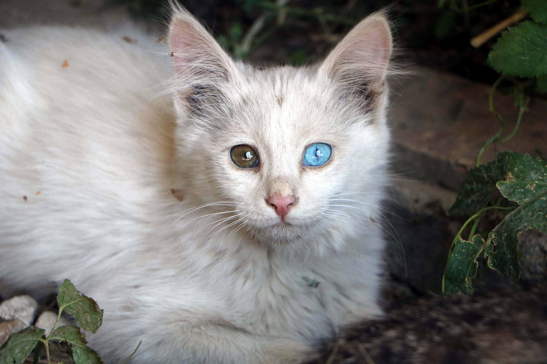 Tekir kedinin gözleri farklı renkteki beyaz yavrusu şaşırttı