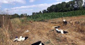 Ölü bulunan leyleklerin resmi