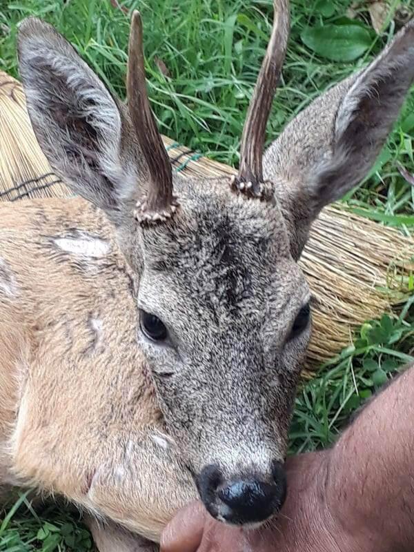 yırtıcı hayvandan kaçıp yaylaya sığınan geyik koruma altına alındı