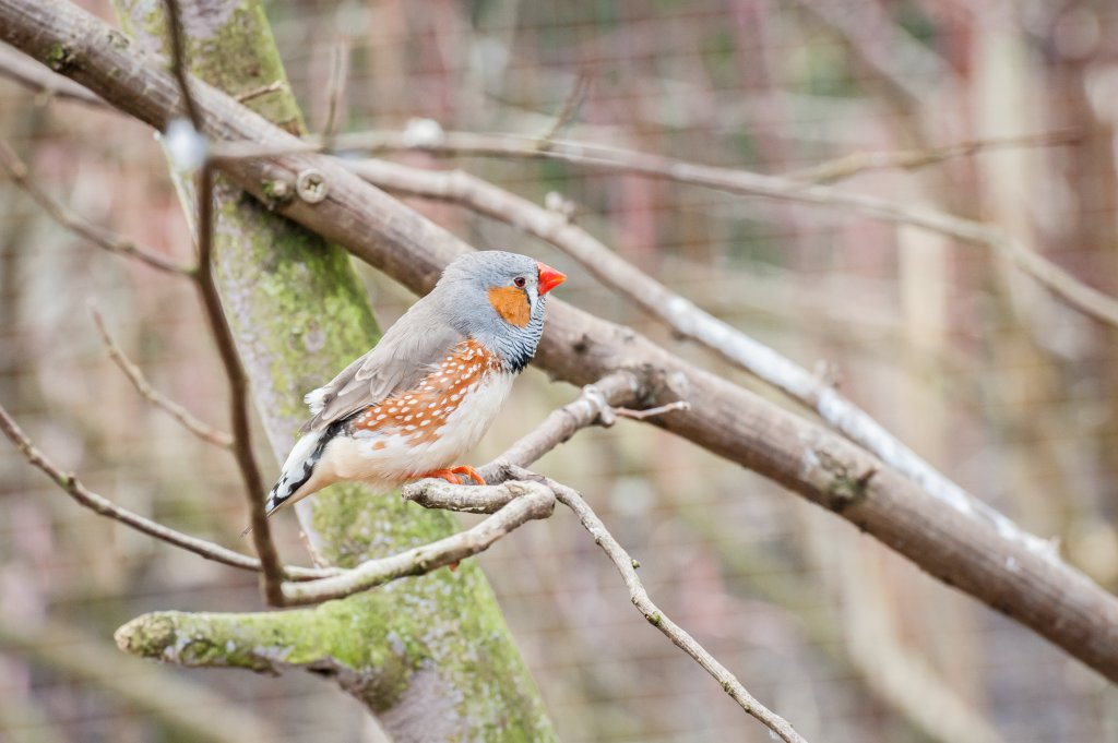 Ağaçta tünemiş doğal ortamında bir hint bülbülü