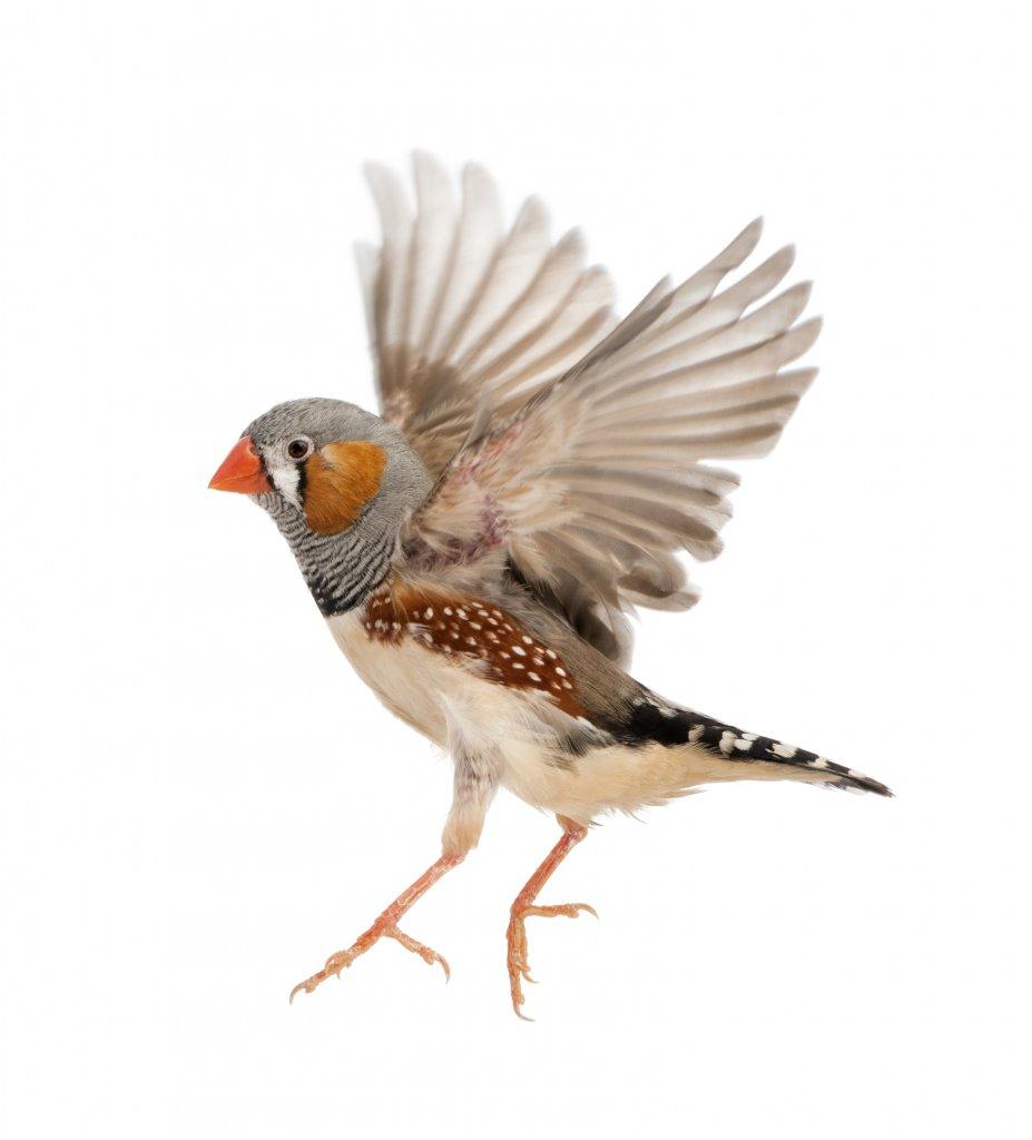 Hint bülbülü kanatlarını çırparken harika bir fotoğraf