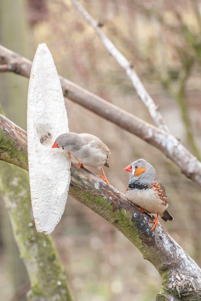 ağaç dalına sabitlenmiş gaga taşı ile ilgilenen bir çift hint bülbülü resmi