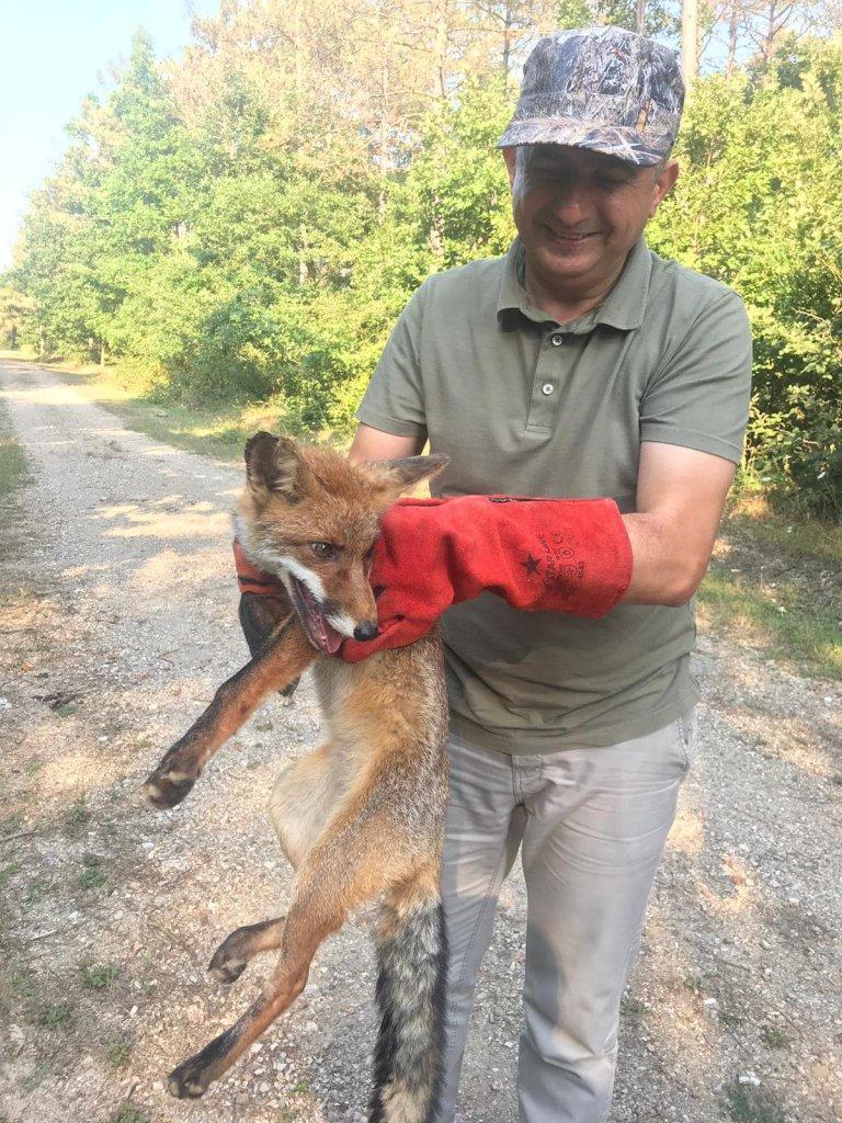 Vatandaşlar tarafından bulunan kızıl tilki tedavi edildi