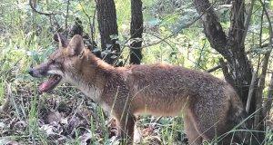 Kızıl tilki sağlığına kavuşunca bulunduğu bölgeye geri salındı
