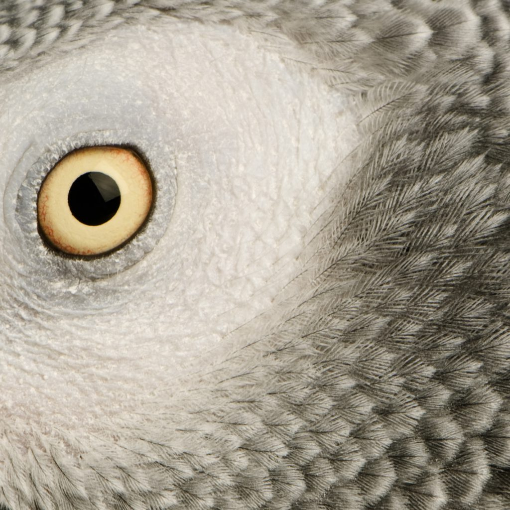 Jako türü papağanın gözlerine ve göz çevresindeki tüylerine yakın çekim