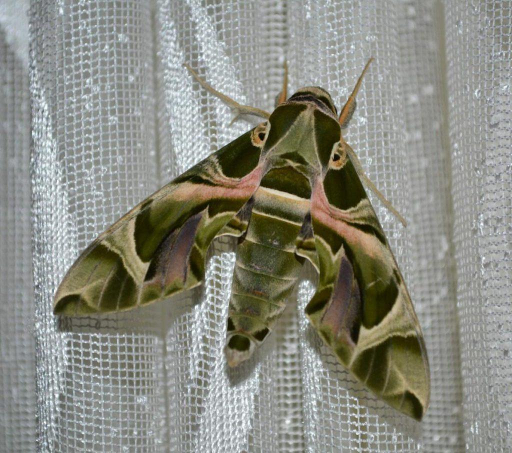 mekik kelebeği'nin perde de dururken çekilmiş resmi