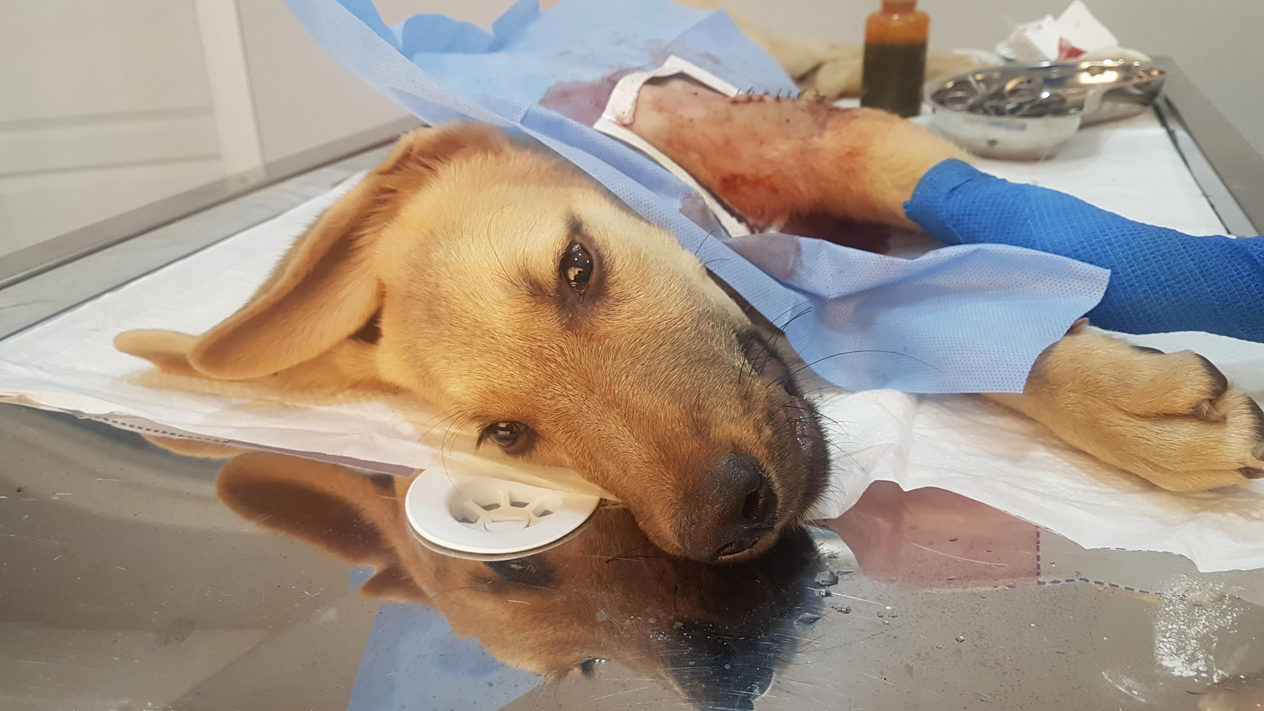 bacağı kırık köpek ameliyat masasında