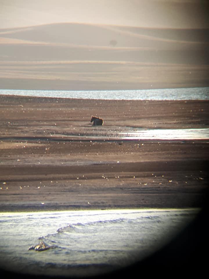 baraj gölü kıyısında görülen ayı güvenli bir şekilde yaşam alanına geri götürüldü