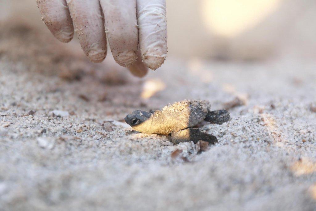 Ege Denizi'ne doğru ilerleyen caretta caretta yavrusu