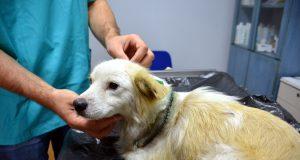Ameliyata alınan köpeğin boynuna 40 dikiş atıldı