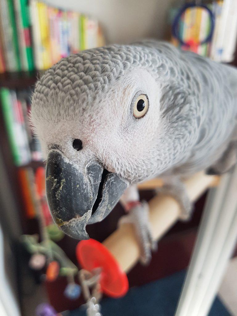 Kafasını kameraya doğru uzatmış sempatik papağan