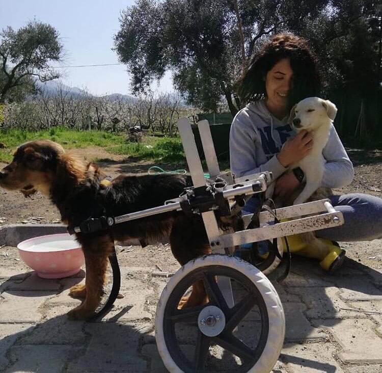 yürüteç desteğiyle yürüyen engelli köpek