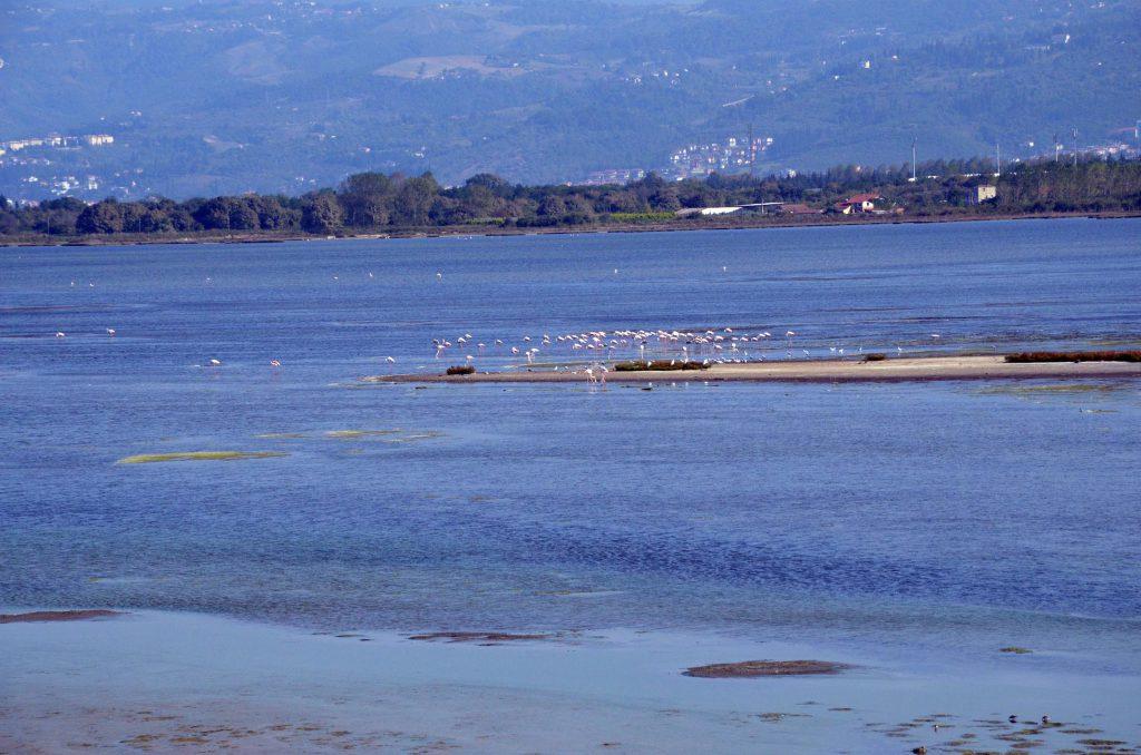 Hersek lagün'ündeki flamingolar