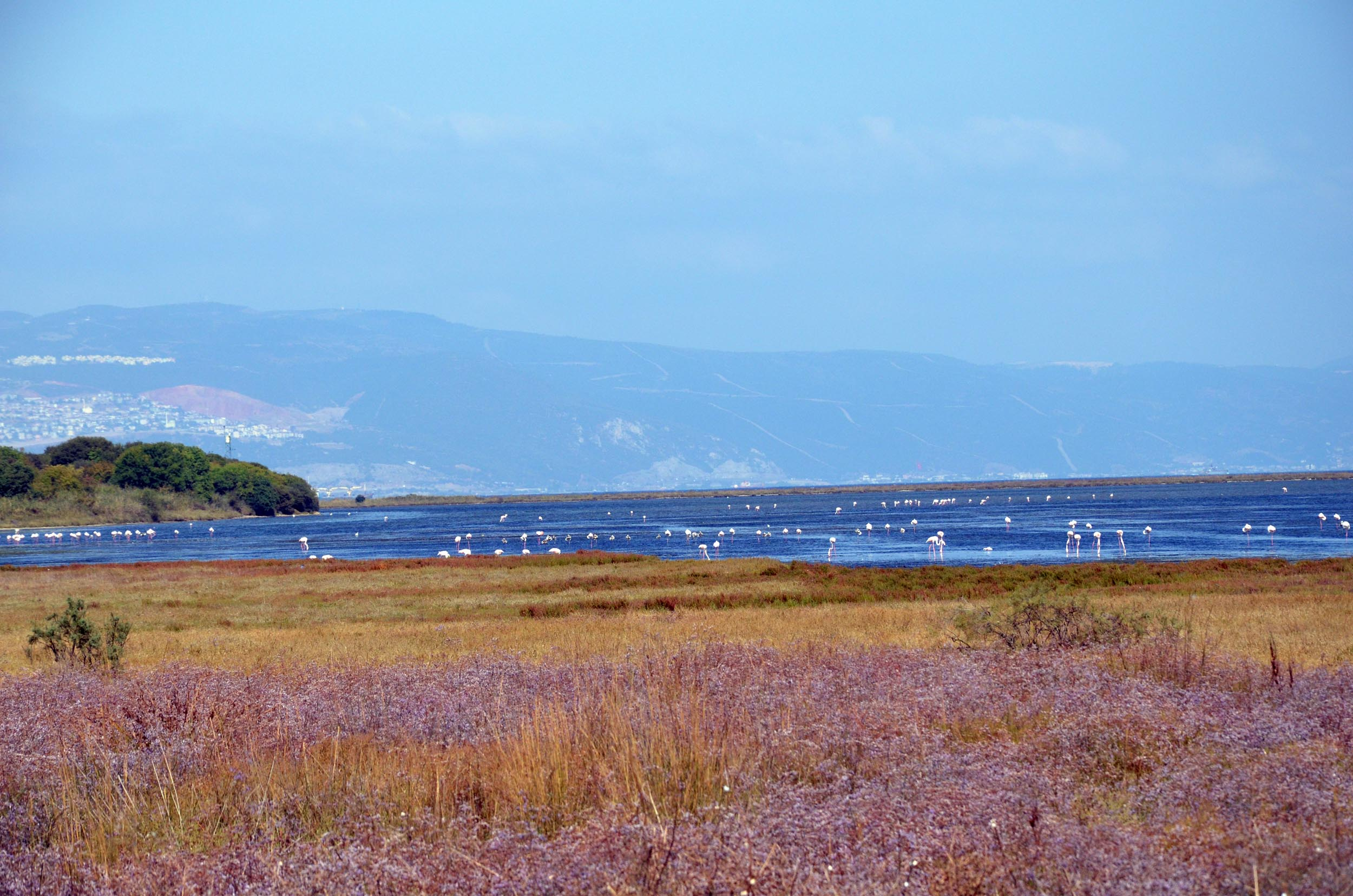 Hersek Lagün'ündeki flamingo sayısı 500ü buldu