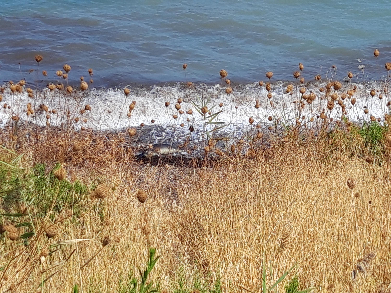 Yaralı Akdeniz foku ölü bulundu