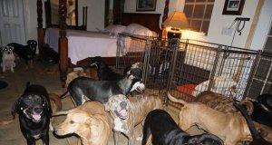Dorian kasırgasından korumak için 97 köpeği evine aldı