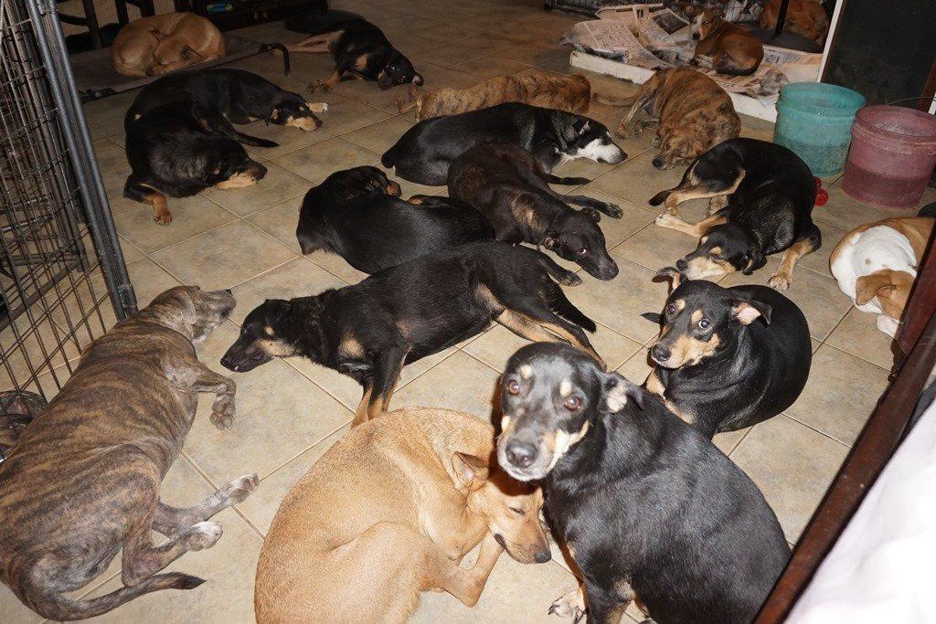 97 köpek aynı çatı altında kasırgadan korundu